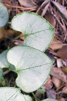 Brunnera macrophylla 'Looking Glass' Siberan bugloss shade plant, closeup of two leaves