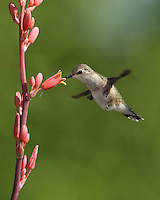 If you look closely, the hummingbirds tongue can be seen extending past the Red Hesperaloe bloom's base..