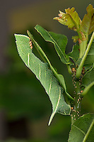 Eichenschwärmer, Raupe frisst an Eiche, Eichen-Schwärmer, Marumba quercus, Oak Hawk-moth, Oak Hawkmoth, caterpillar, Le Sphinx du chêne, Schwärmer, Sphingidae, hawkmoths, hawk moths, sphinx moths