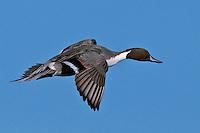 Pintail Duck, Bosque del Apache NWR