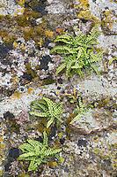 Brauner Streifenfarn, Braunstieliger Streifenfarn an alten Gemäuer, Mauer, Asplenium trichomanes, Maidenhair Spleenwort, Fausse-Capillaire