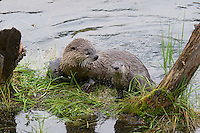 Northern River Otter (Lontra canadensis) family--mother with two pups-- on grass covered log along edge of lake.  Western U.S., summer.  One pup is shaking off water..