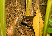 Smoky Jungle Frog, Leptodactylus pentadactylus, in Tortuguero National Park, Costa Rica