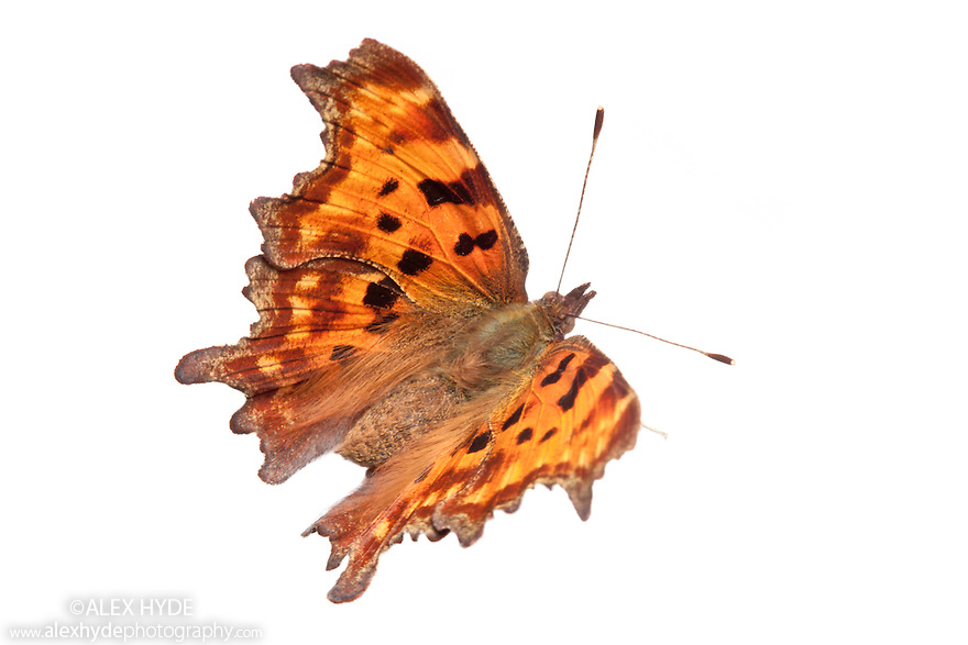 Comma butterfly {Polygonia c-album} photographed against a white background in mobile field studio. Peak District National Park, Derbyshire, UK. September.