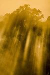 Early morning light streams through the rainforest canopy: Menggaris tree  (Koompassia excelsa). Danum Valley, Sabah, Borneo.