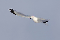 Adult Ring-billed Gull (Larus delawarensis) attaining breeding (alternate) plumage in flight. Ontario County, New York. February.