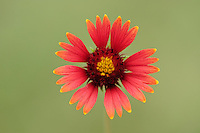 Indian Blanket, Fire Wheel (Gaillardia pulchella), blooming, Dinero, Lake Corpus Christi, South Texas, USA