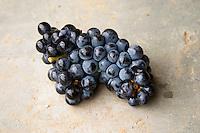 Harvested grapes. Chateau de Haux, Bordeaux, France
