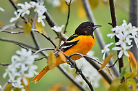 Male Baltimore Oriole (Icterus galbula) in serviceberry bush.  Great Lakes Region.  May.