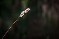 A single pinegrass seedhead with tens of seeds ready to disperse.