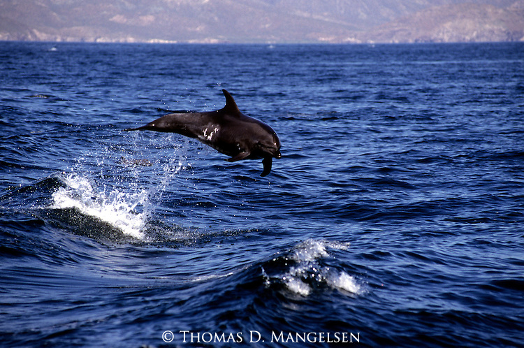 Pacific bottlenose dolphin jumps out of the Sea of Cortez in Baja, California.