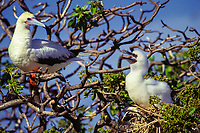bird, Red-footed Booby, Sula sula, with chick at Eastern Island, Midway Atoll, Papahanaumokuakea Marine National Monumen, Northwestern Hawaiian Islands