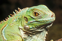 Green iguana, Iguana iguana. Captive; native to Central America.