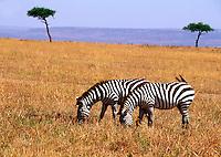 Zebras graze on a vast African plain landscape. Tanzania.