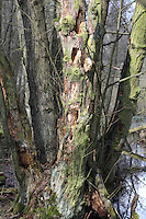 Spechtbaum, Specht hat bei der Nahrungssuche viele Löcher in einen Stamm gehackt, Erle, Woodpecker-tree, woodpecker has hacked many holes in search of food in a trunk