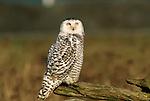 Snowy Owl perched on a log.