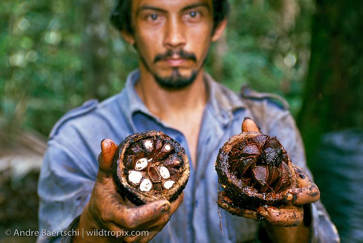 Castañero, Brazil nut harvester, with opened Brazil nut pod showing single seeds, lowland tropical rainforest, Madre de Dios, Peru. lowland tropical rainforest, Madre de Dios, Peru.