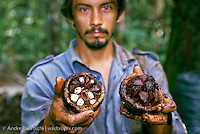 Castañero, Brazil nut harvester, with opened Brazil nut pod showing single seeds, lowland tropical rainforest, Madre de Dios, Peru. lowland tropical rainforest, Madre de Dios, Peru.