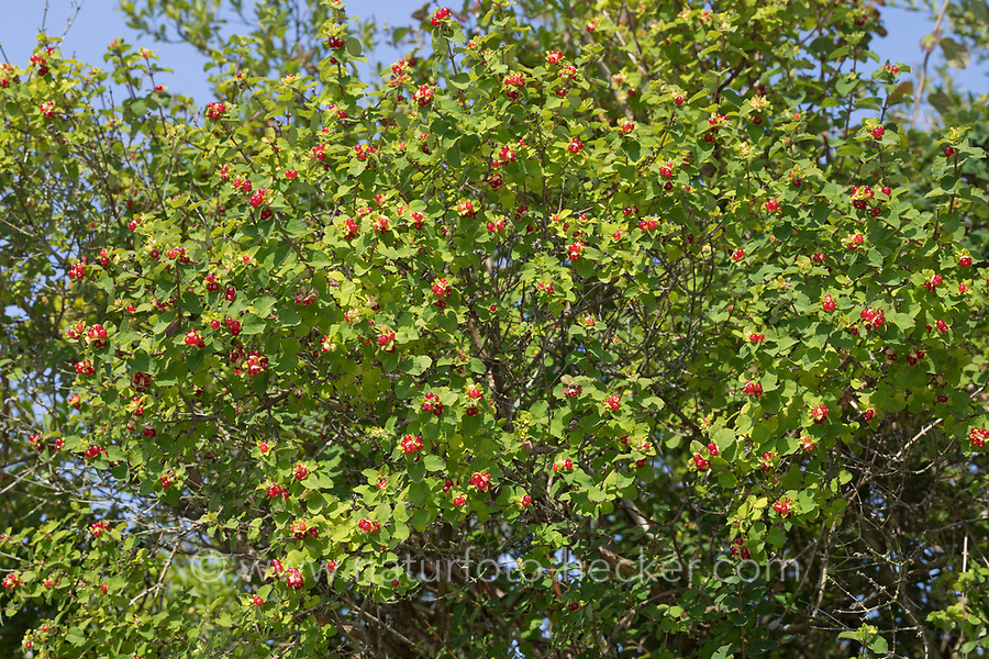 Persische Heckenkirsche, Früchte, Lonicera iberica, Persian Honeysuckle
