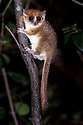 Adult brown or rufus mouse lemur (Microcebus rufus) at night. Ranomafana National Park, south east Madagascar.