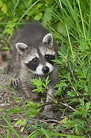 """Waschbär, knapp 2 Monate altes Jungtier, Tierkind, Tierbaby, Tierbabies, Waschbaer, Wasch-Bär, Procyon lotor, Raccoon, Raton laveur, """"Frodo"""""""