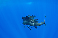 Pacific Ocean sailfish, Istiophorus platypterus, shows the supple flexibility of its body while using its sail as a foil to make a sudden turn, with the elongated ventral fins extended for added control; Vava'u, Kingdom of Tonga, South Pacific Ocean