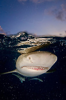 Lemon shark, Negaprion brevirostris, split view, near surface at dusk, close up of snout, teeth, with remoras, bubbles, Bahamas, Caribbean Sea, Atlantic Ocean