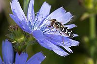 Späte Großstirnschwebfliege, Späte Großstirn-Schwebfliege, Weiße Dickkopf-Schwebfliege, Blasenköpfige Schwebfliege, Halbmondschwebfliege, Halbmond-Schwebfliege, Johannisbeer-Schwebfliege, Weibchen, Blütenbesuch an Wegwarte, Scaeva pyrastri, pied hoverfly, cabbage aphid hover fly, female, Le Syrphe pyrastre