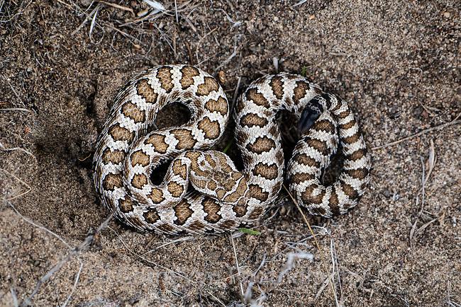 Great Basin Rattlesnake (Crotalus oreganus lutosus) juvenile showing button. Lake County, Oregon. June.