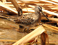 Long-billed dowitcher in molt to breeding plumage