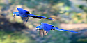 A pair of hyacinth macaws (Anodorhynchus hyacinthinus) in flight. Pousada Araras Lodge, Nothern Pantanal, Mato Grosso, Brazil. September.