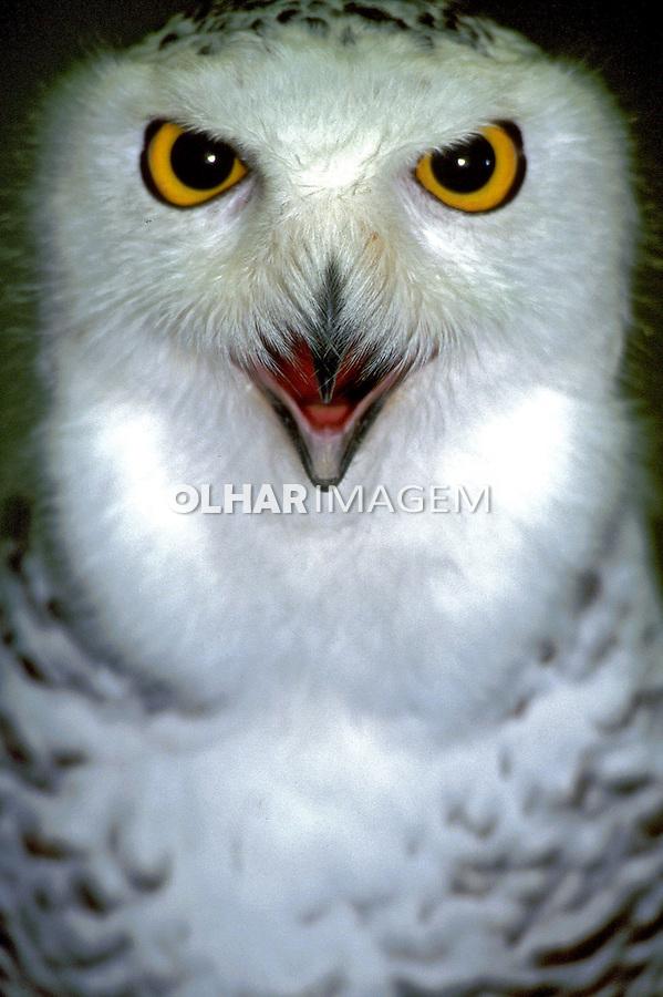 Animais. Aves. Coruja-da-neve ( Nyctea scandiaca). Foto de Luciana Whitaker.
