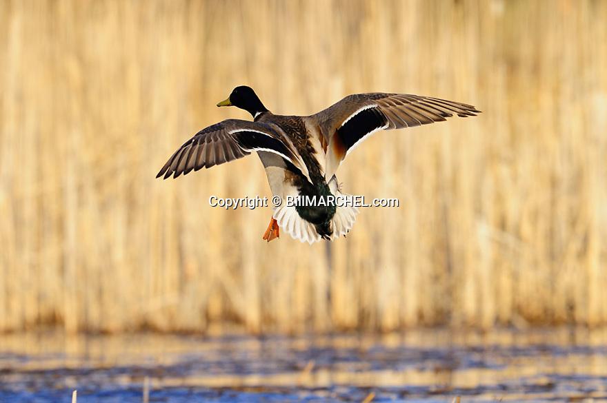00330-086.11 Mallard Duck drake in flight is about to land.  Hunt, wings set, cattails, marsh, waterfowl.