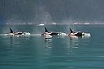 Killer Whales, Stephens Passage, Tongass National Forest, Alaska, USA