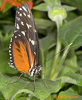 0402-08ww  Tiger Longwing Butterfly, Heliconius hecale, South and Central America © David Kuhn/Dwight Kuhn Photography