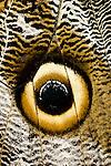 Owl-eye Butterfly (Caligo sp.). Amazonia, Ecuador.
