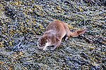 Otter cleans the salt from its fur