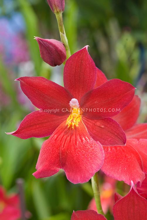 Burrageara Nelly Isler orchid hybrid single one flower