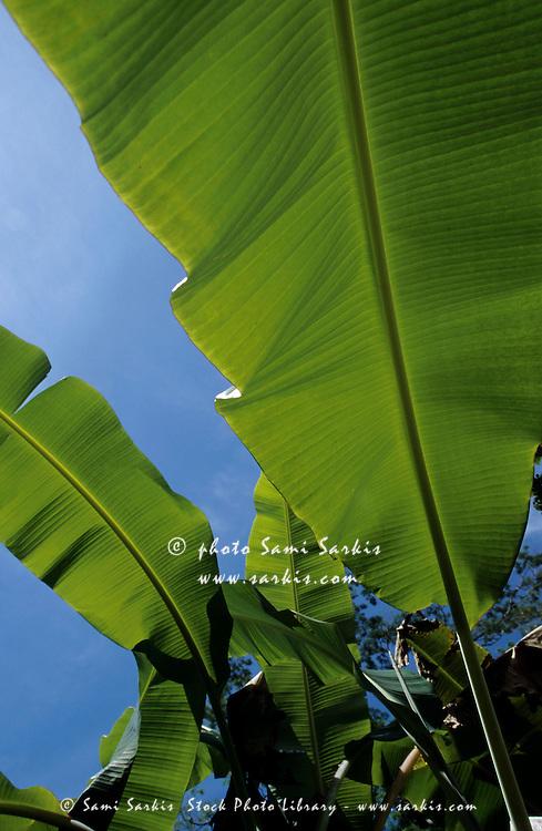 Bright green leaves of banana trees.
