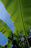 Bright green leaves of banana trees.