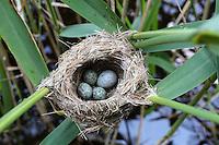 Kuckuck, Ei, Eier, Gelege im Nest, Kuckuck hat sein etwas größeres Ei in das Napfnest zu den Eiern eines Teichrohrsänger gelegt, Brutparasitismus, Cuculus canorus, Cucullus canorus, cuckoo