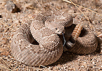 Western Diamondback Rattlesnake - Crotalus Atrox - Moving at sunset, high temperatures made this snake very fast and agressive.