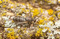 Robber Fly (Atomosia melanopogon)