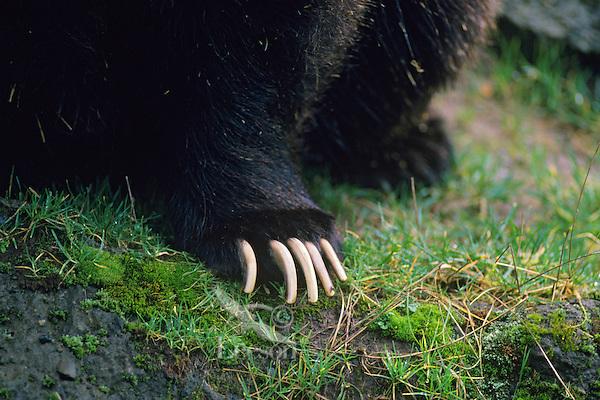 Grizzly bear claws (Ursus arctos)