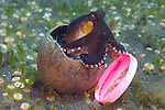 Coconut octopus, Octopus marginatus, one of the few cephalopods that is known to exhibit the behaviour of using a tool, it often takes shelter in discarded coconut shells, Puri Jati, north Bali, Indonesia, Pacific Ocean