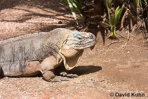 0629-1109  Exuma Island Iguana (Northern Bahamian Rock Iguana), Bahamas, Cyclura cychlura figginsi  © David Kuhn/Dwight Kuhn Photography