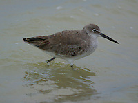 Adult non-breeding willet wading in water