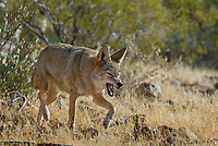 Coyote (Canis latrans) snarling.  Southwestern desert.  This coyote is being aggressive towards (warning) another coyote.