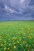 Wildflowers bloom at Kalsow Prairie State Preserve, a tallgrass prairie remnant north of Manson, Iowa, AGPix_0501...