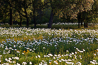 A Field of Texas White Prickly Poppy wildflowers surrounded by Texas Live Oaks in Llano, Texas